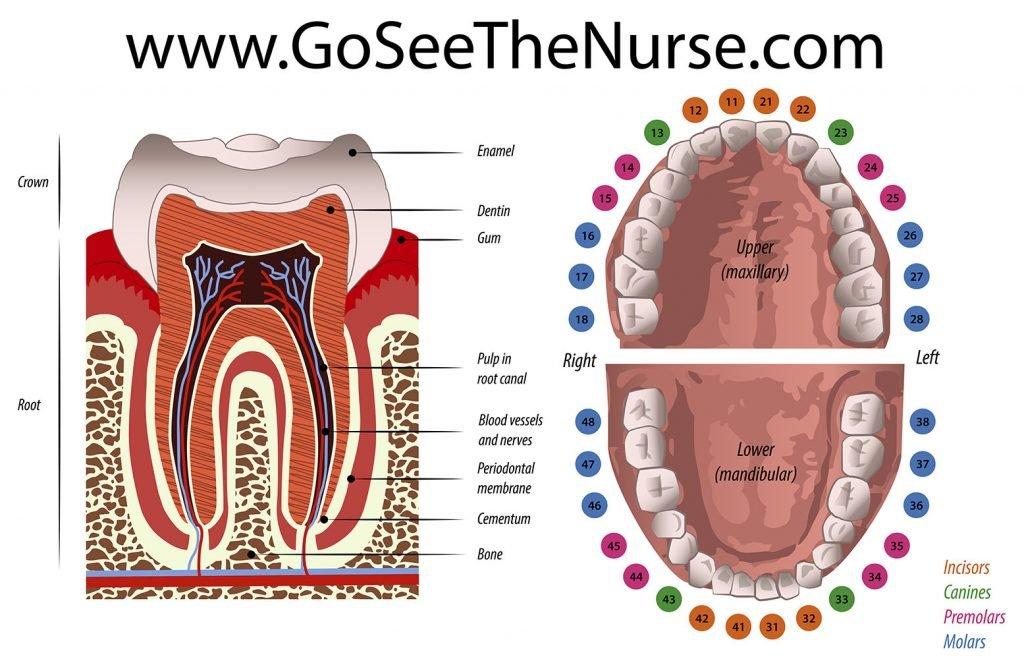 dental emergencies Dental Emergency - School Nurse Guide mouth parts