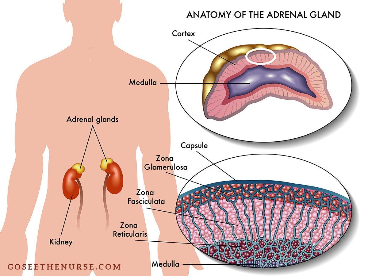 congenital adrenal hyperplasia cah Congenital Adrenal Hyperplasia (CAH) – A School Nurse Guide adrenal gland anatomy